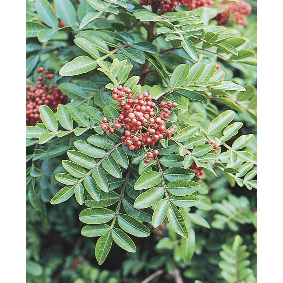 2.25-Gallon Brazilian Pepper Shade Tree (L9430)