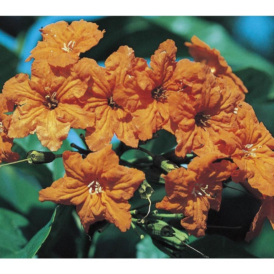 2-Gallon Geiger Tree Flowering Tree (L23447)