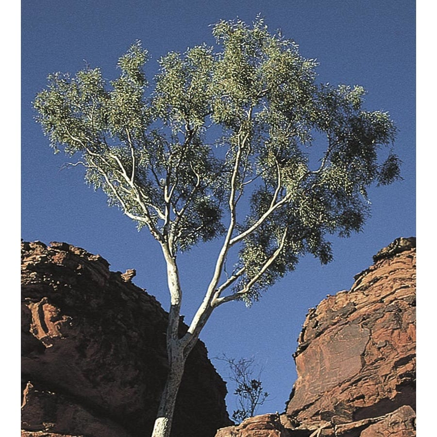 2.25-Gallon Ghost Gum Shade Tree (L14900)