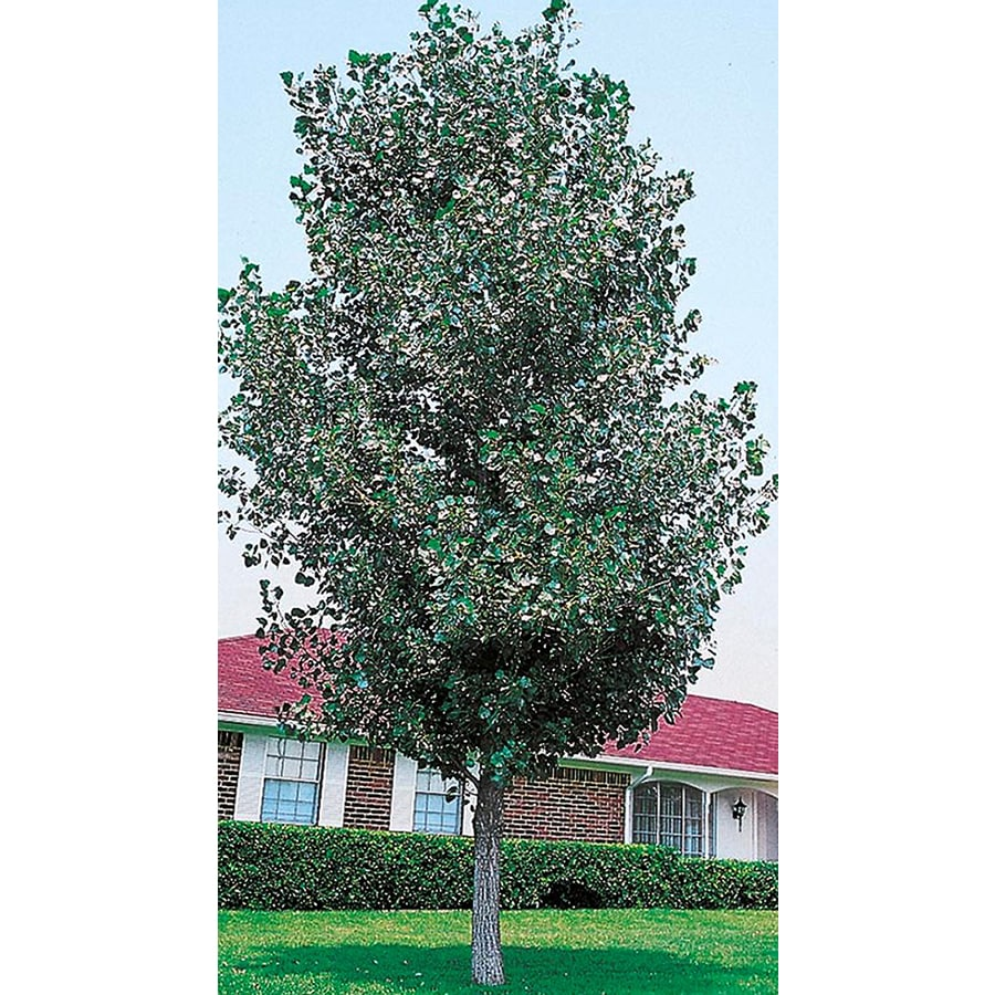 Shop 3 25 Gallon Cottonless Cottonwood Shade Tree L3624