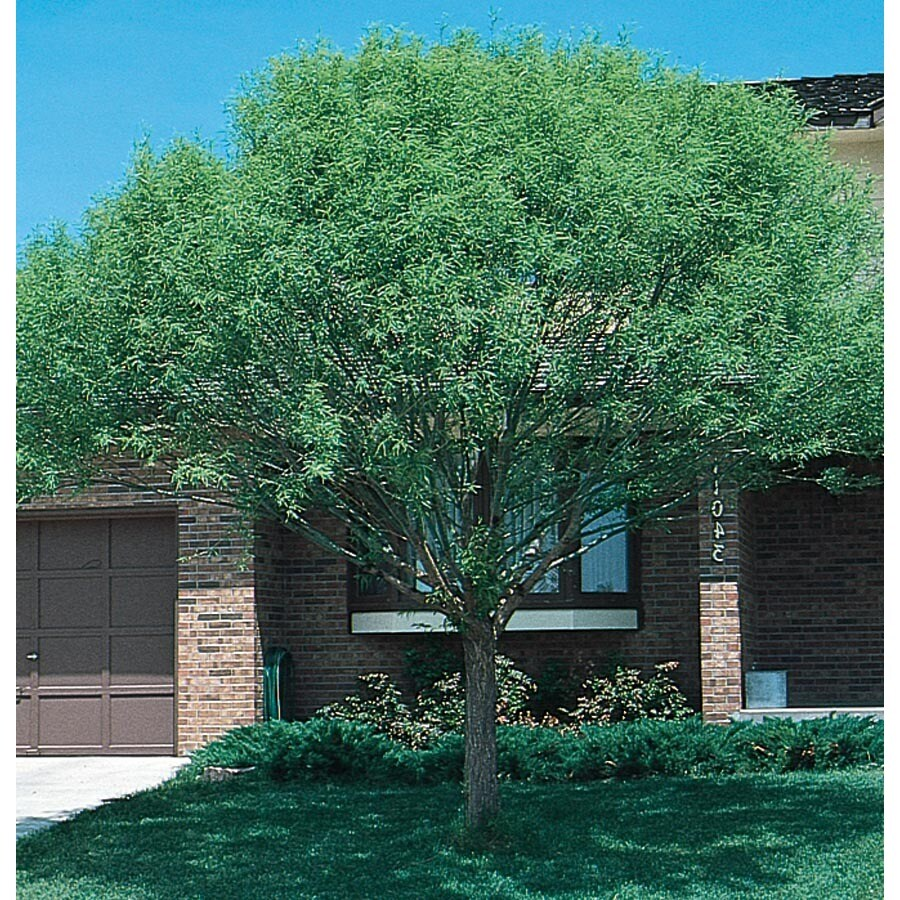 3.58-Gallon Globe Willow Shade Tree (L1412)