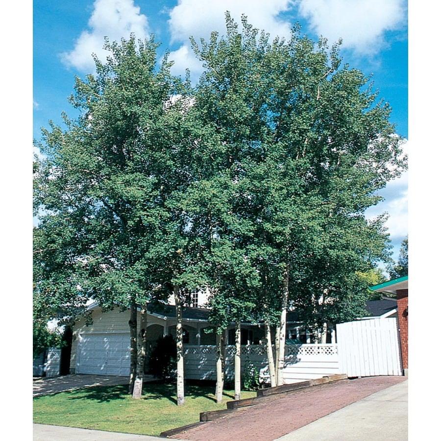 6.08-Gallon Trembling Aspen Shade Tree (L4358)