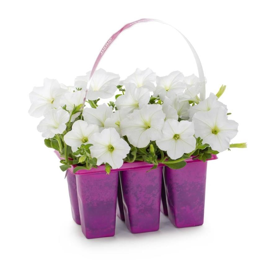 6-pack Trailing Petunia (L2017)