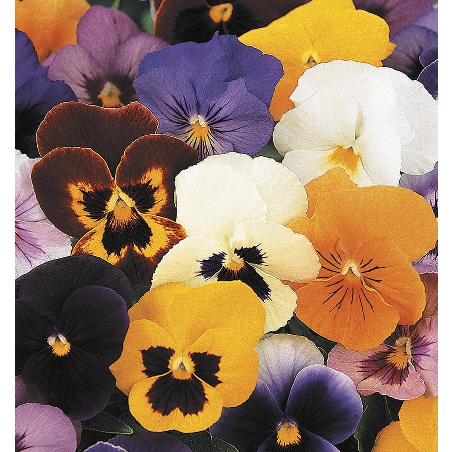 9-Pack Pansy (L5048)