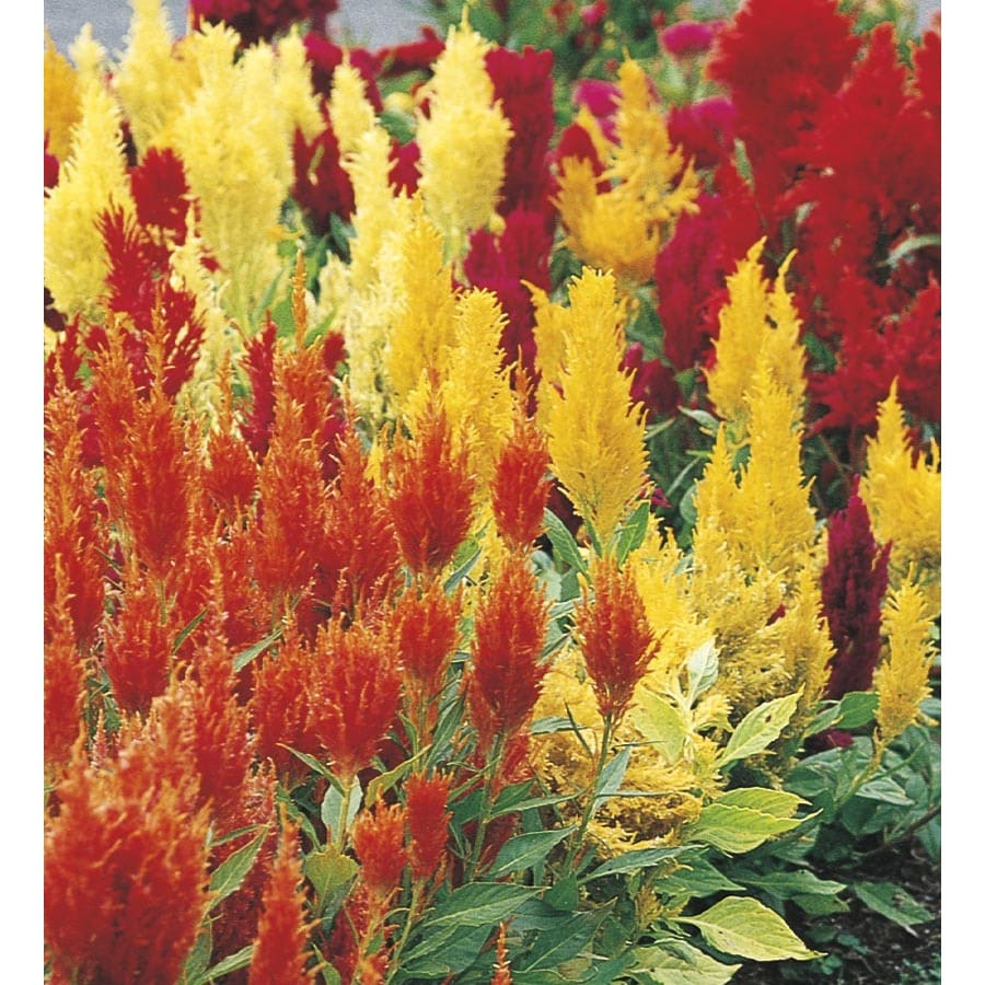 Shop 6 Pack Multicolor Celosia In Tray L17148 At Lowes