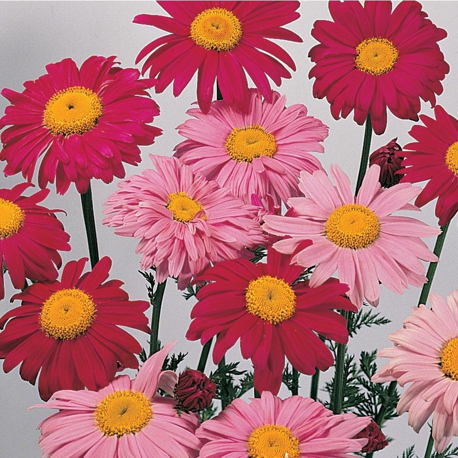 2.5-Quart Robinson's Mixed Painted Daisy (L8993)
