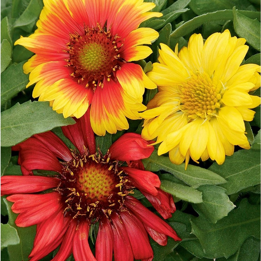 6-Pack Blanket Flower (L10067)