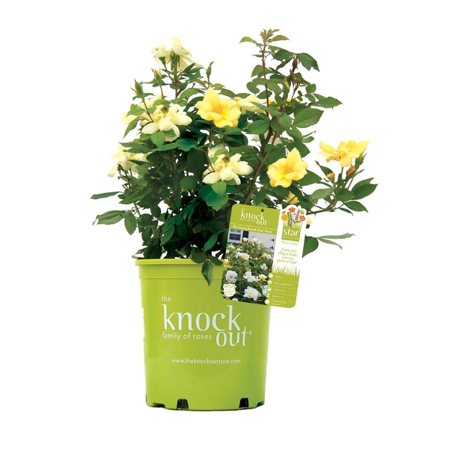Pot Knock Out Rose Sunny