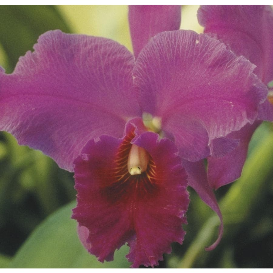 BETTER-GRO 3 oz Cattleya Orchid (L04035HP)