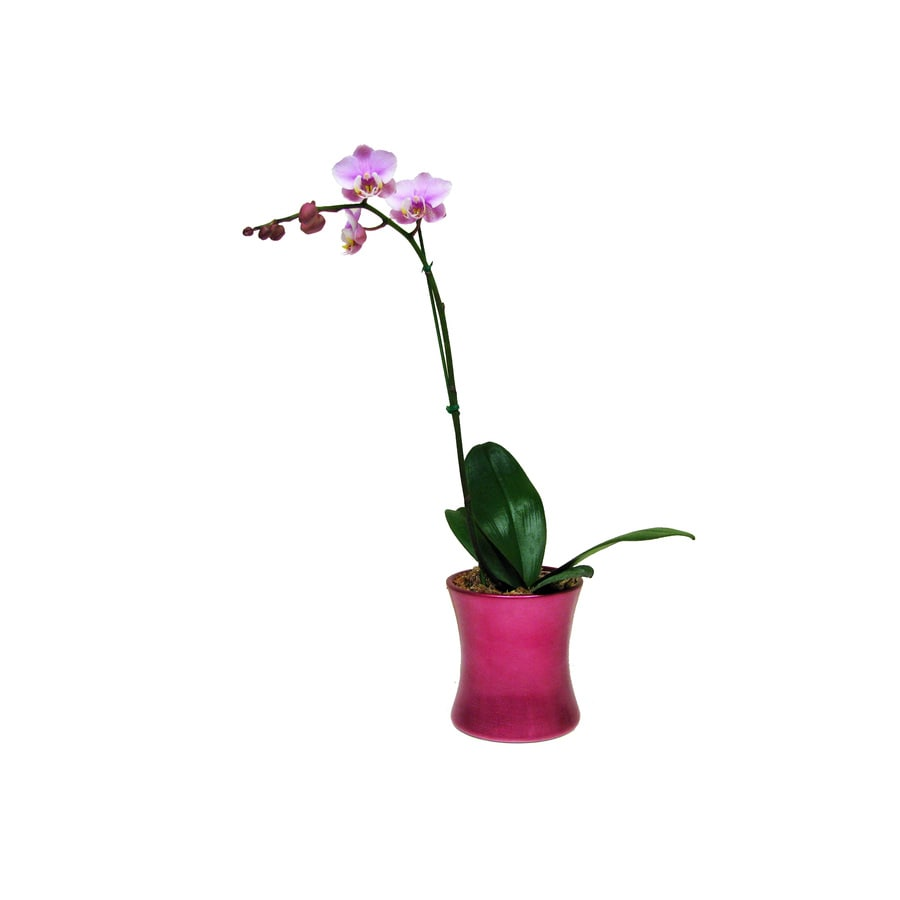 BETTER-GRO 1-Quart Phalaenopsis Orchid in Planter