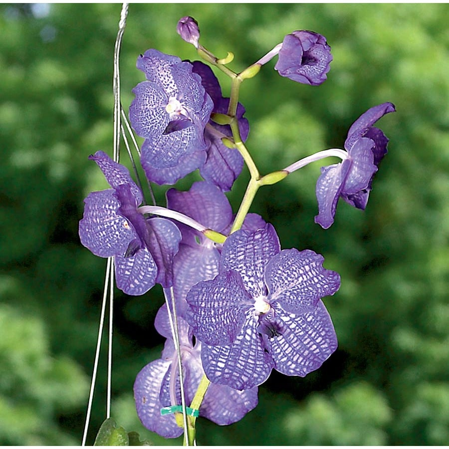 BETTER-GRO 0.98-Quart Vanda Orchid (L20978HP)