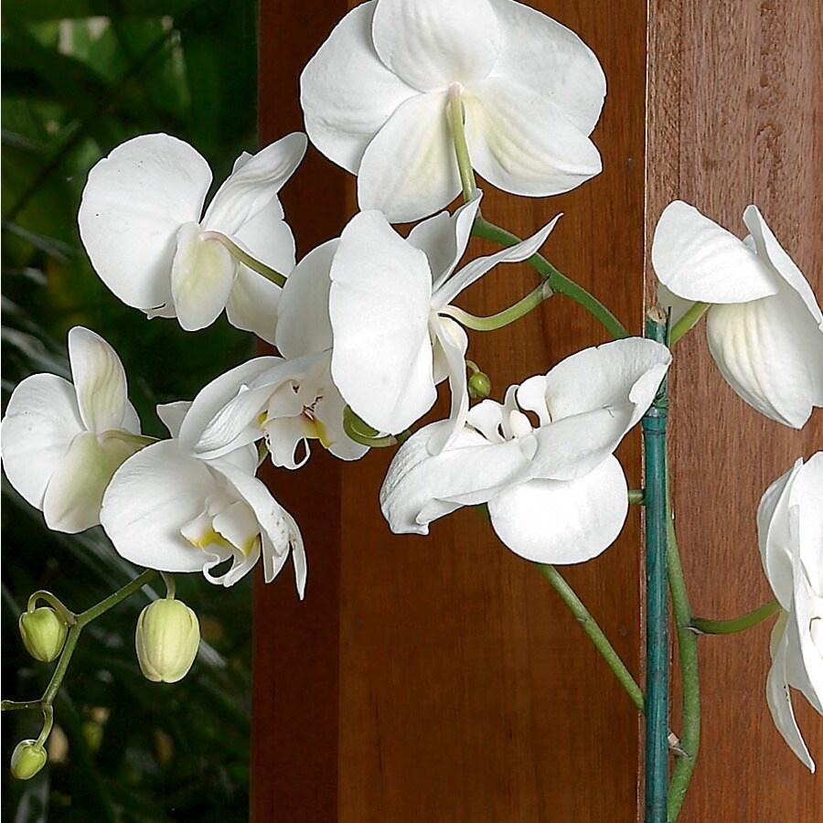 BETTER-GRO 2-Quart PhalaenoPSIs Orchid (L20963HP)