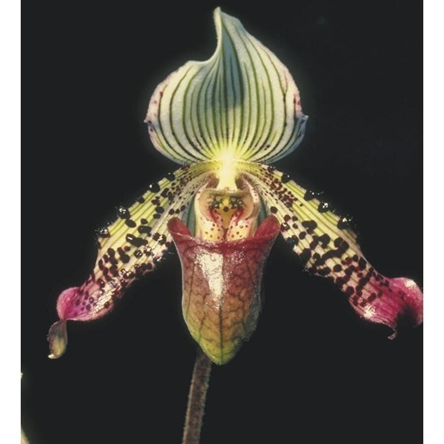 1.25-Pint Lady's Slipper Orchid (L01515HP)