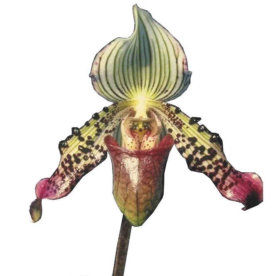 1.5-Quart Lady's Slipper Orchid (L01515hp)