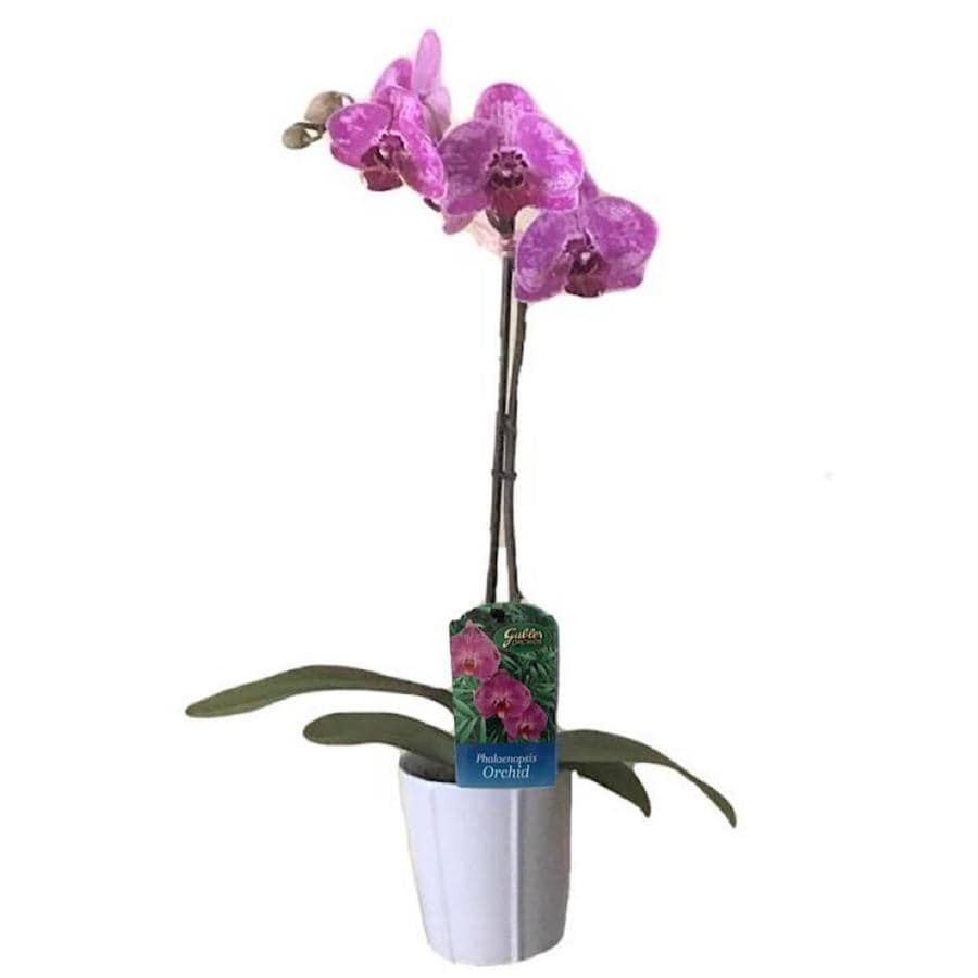 Gubler 7-Ounce Moth Orchid In Planter (Orchid)