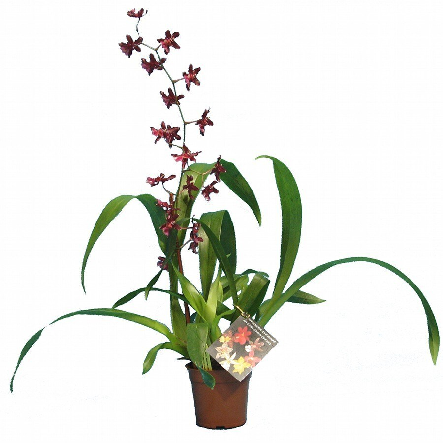 Gubler 1.25-Pint Intergeneric In Planter (Orchid)