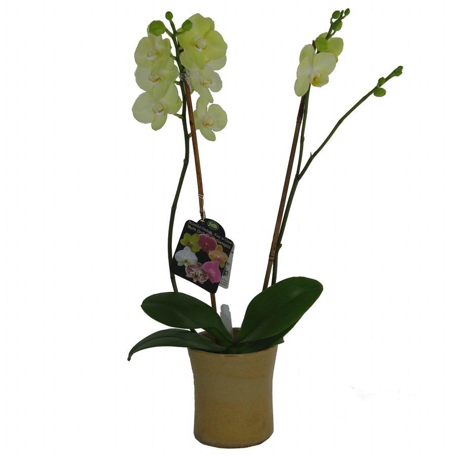 Gubler 1.5-Pint Moth Orchid in Planter