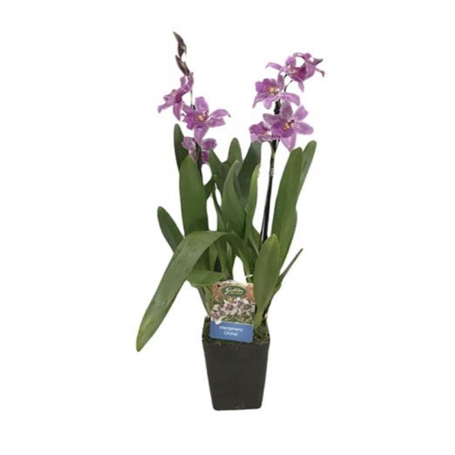 Gubler 1.5-Quart Intergeneric in Planter (Orchid)