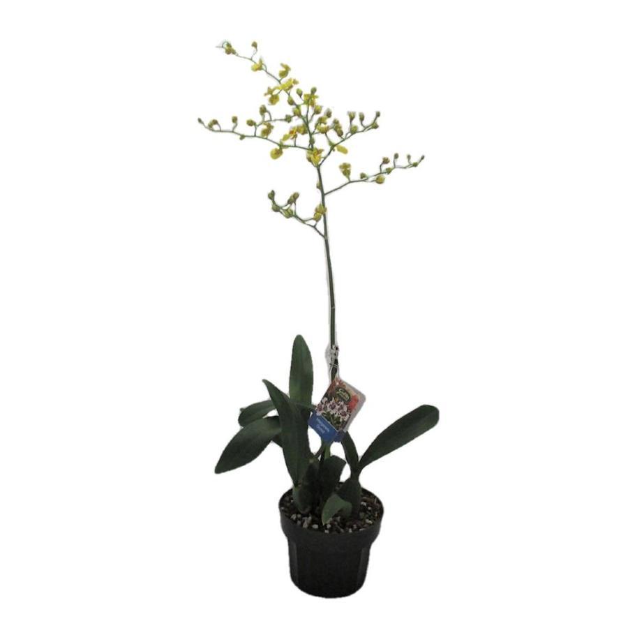 Gubler 1.5-Quart Dancing Lady in Planter (Orchid)