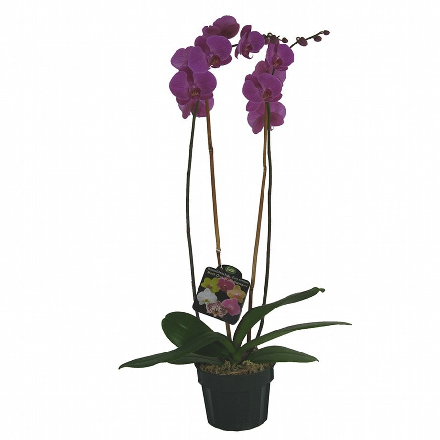 Gubler 1.5-Quart Moth Orchid in Planter (Orchid)