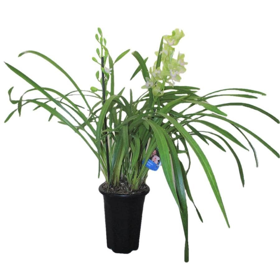 Gubler 1.5-Quart Intergeneric in Planter (Orchid)
