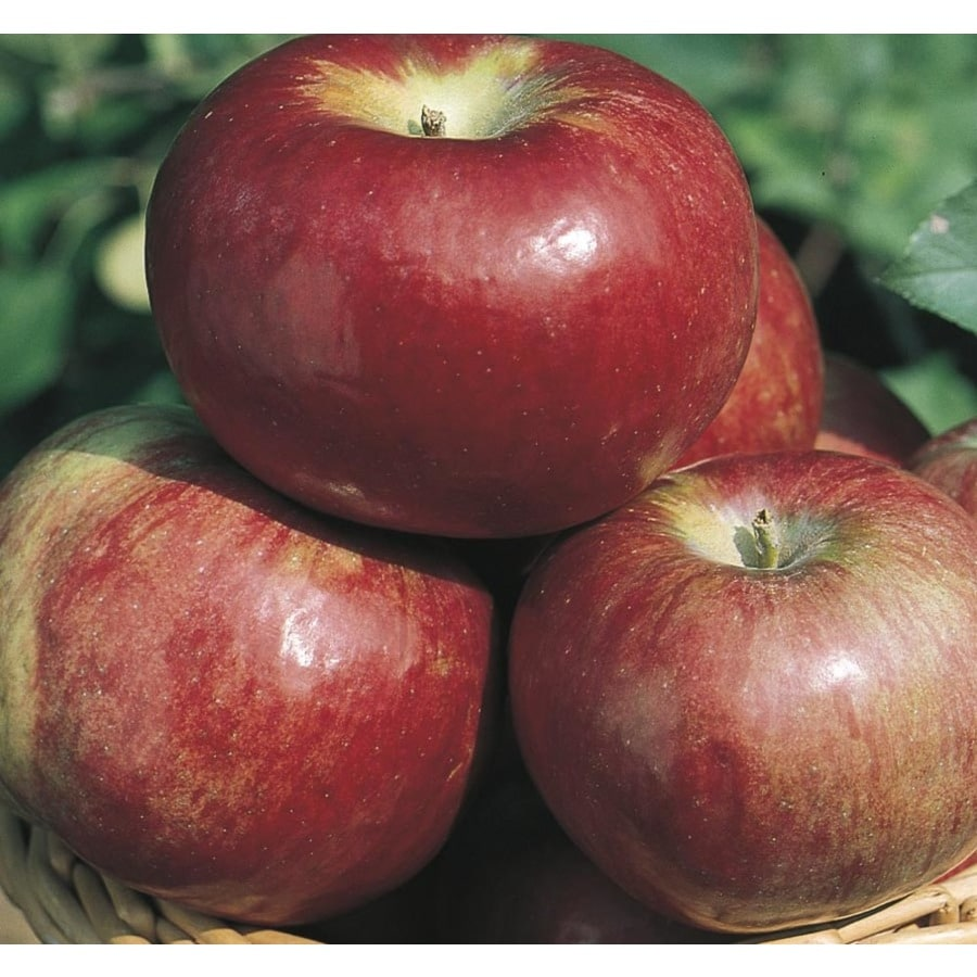 3.8-Gallon Cortland Apple Tree (L6120)