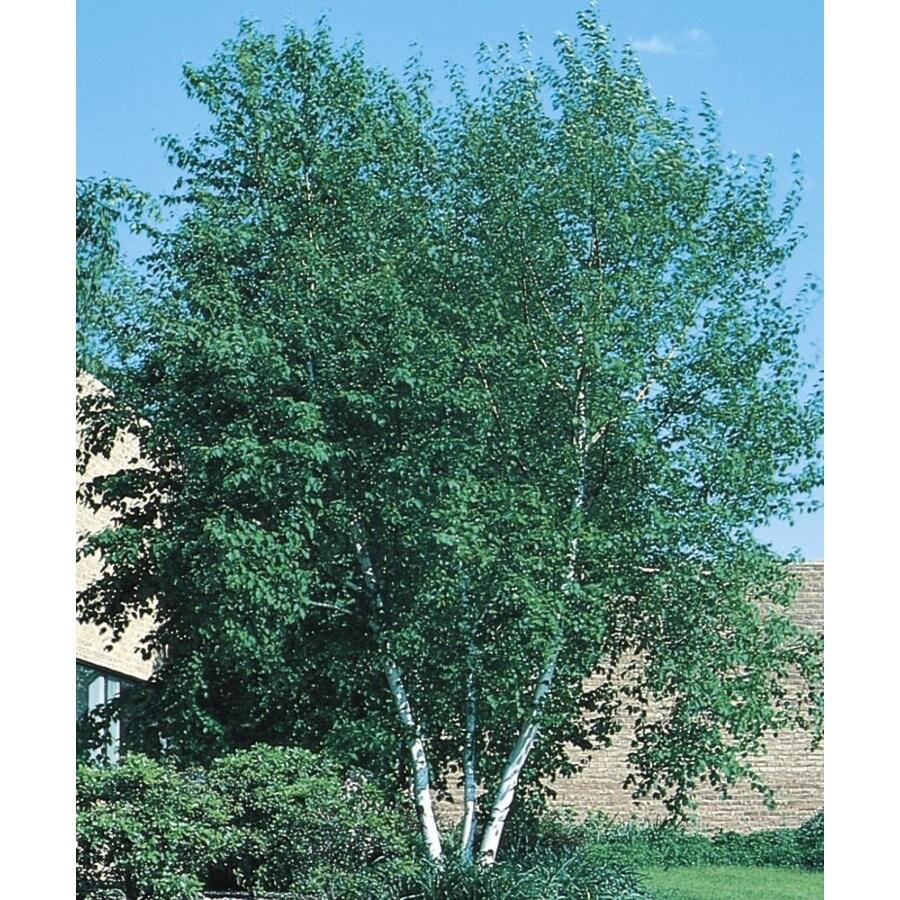 8.9-Gallon Whitespire Clump Birch Feature Tree (L3818)