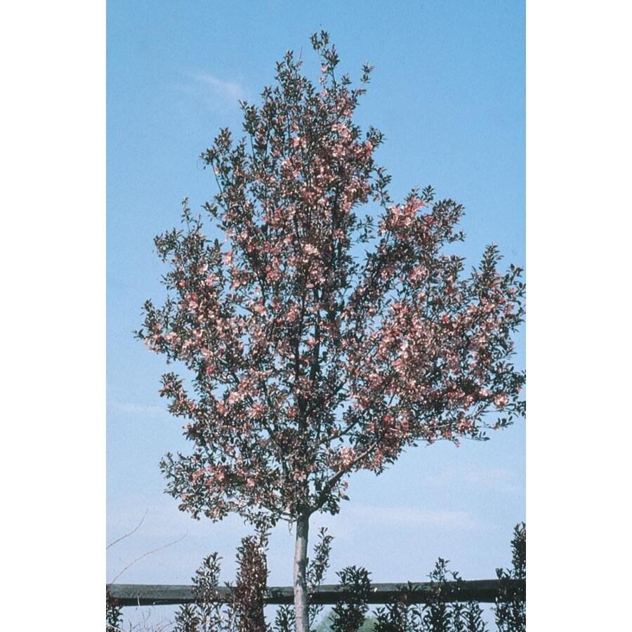 8.9-Gallon Velvet Pillar Crabapple Flowering Tree (L17155)