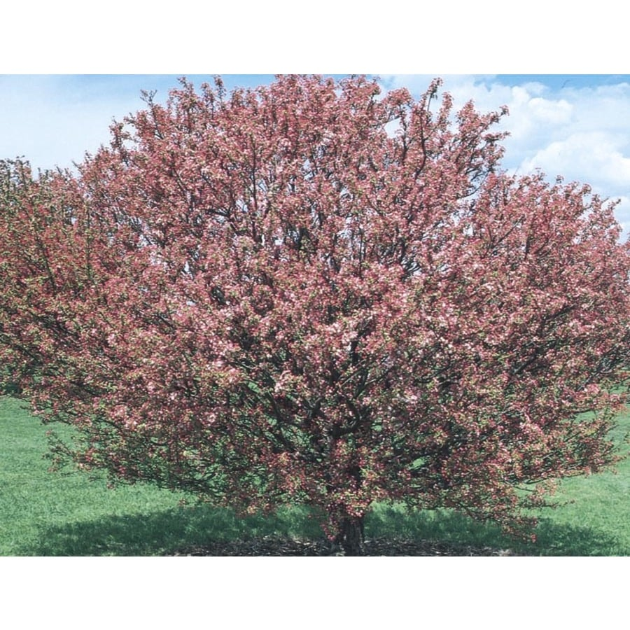 8.9-Gallon Coralburst Crabapple Flowering Tree (L5316)
