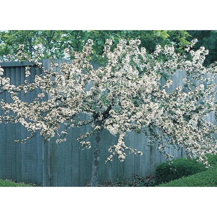8.99-Gallon Tina Crabapple Feature Tree (L25540)