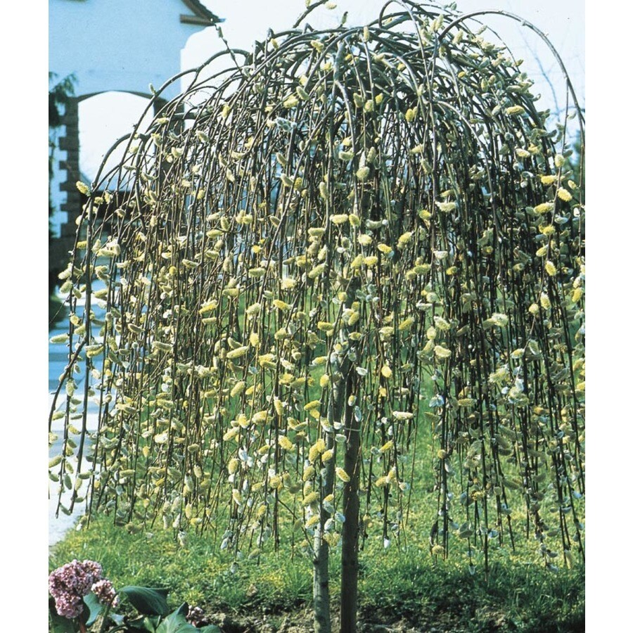 8.9-Gallon Yellow Weeping Pussy Willow Tree Feature Shrub (LW01654)