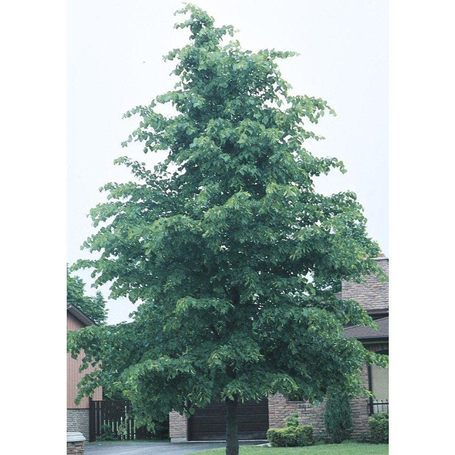 8.9-Gallon Littleleaf Linden Shade Tree (L6140)