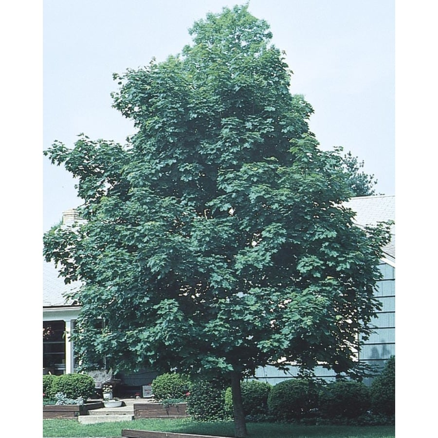 Emerald Queen Maple Utah: 8.9-Gallon Yellow Emerald Queen Norway Maple Shade Tree In