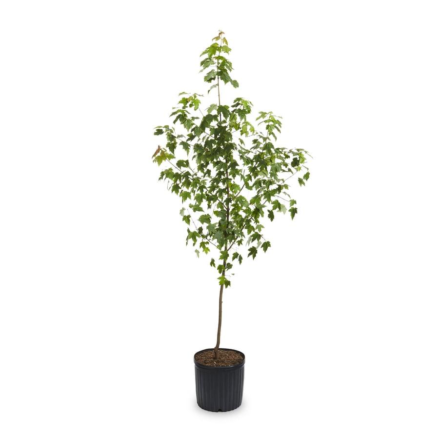 8.99-Gallon Autumn Blaze Maple Shade Tree (L1123)