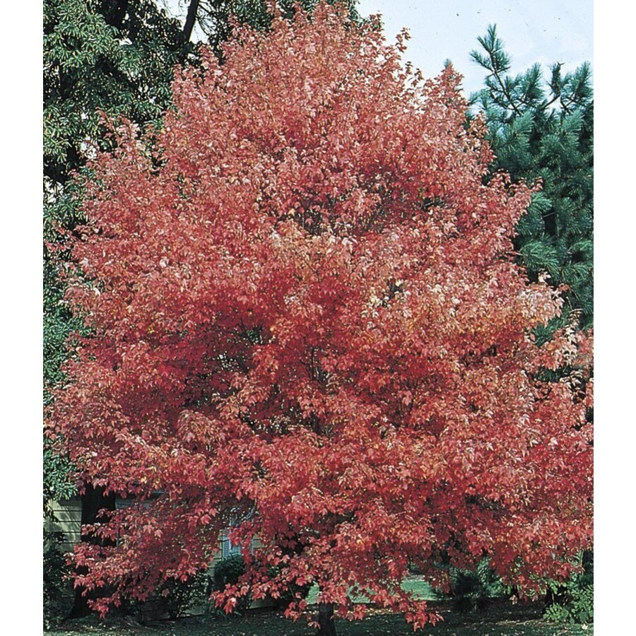 Shop 8 Gallon Autumn Fantasy Red Maple Shade Tree L8500
