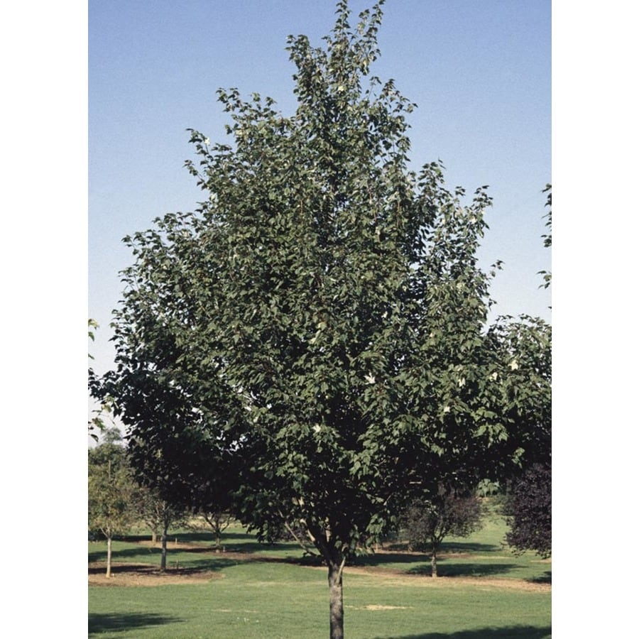 8.9-Gallon Sienna Glen Maple Shade Tree (L22208)