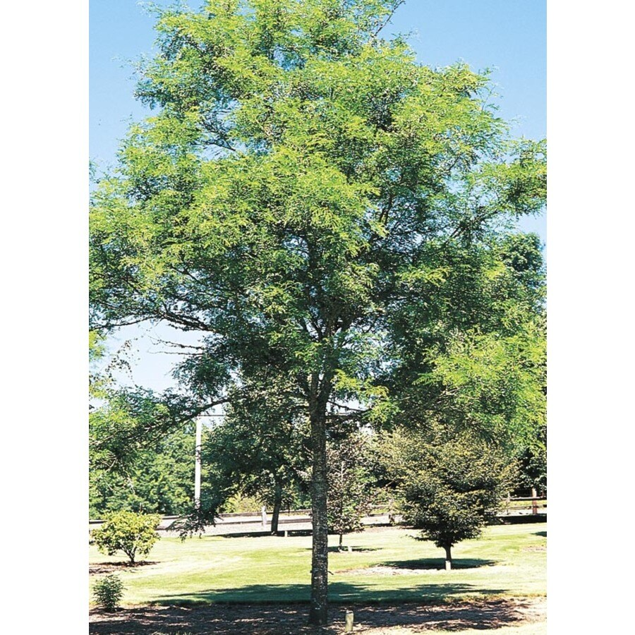 8.9-Gallon Imperial Thornless Honeylocust Shade Tree (L10523)