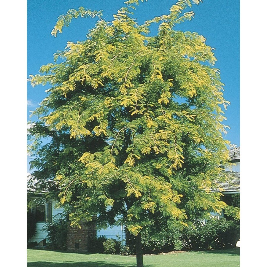 8.99-Gallon Sunburst Honeylocust Shade Tree (L1059)