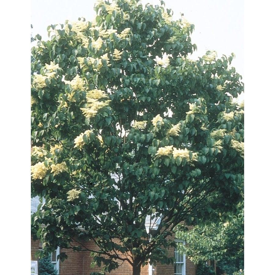 8.99-Gallon White Ivory Silk Lilac Tree Flowering Shrub (L9033)