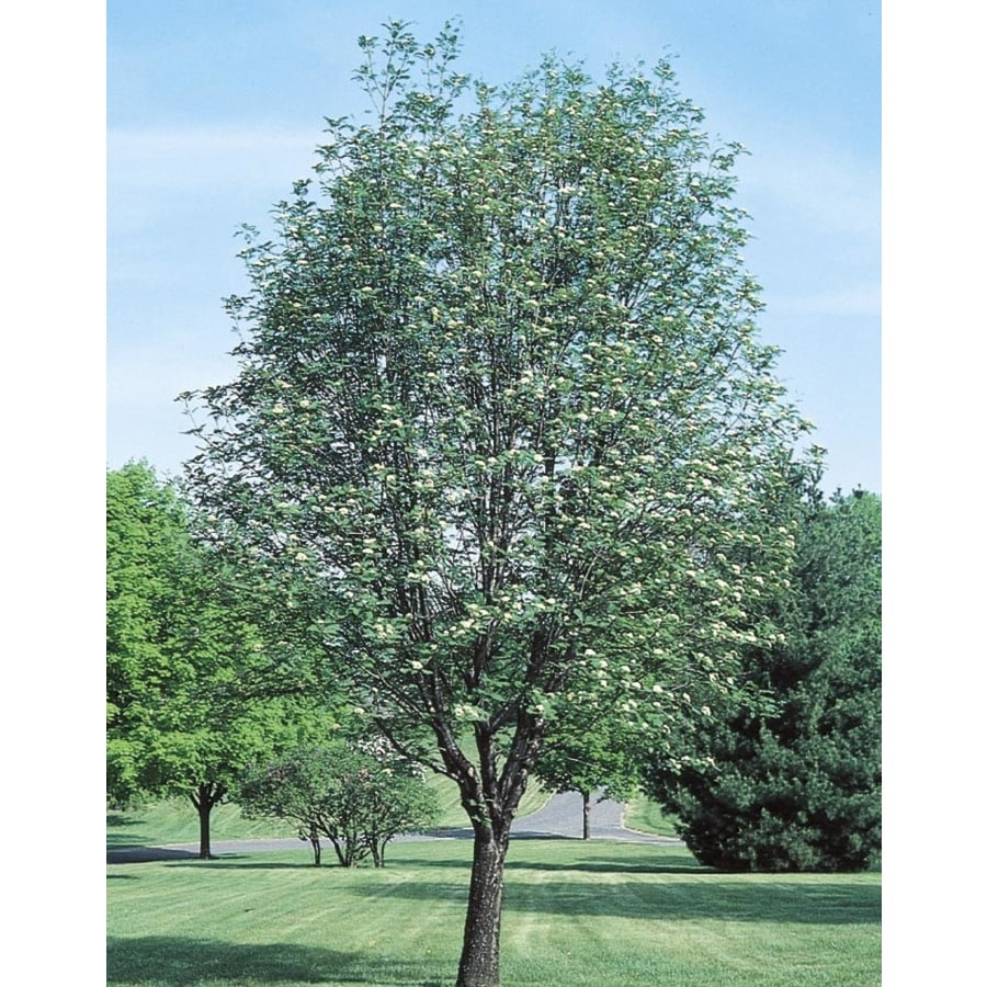 8-Gallon Cardinal Royal Mountain Ash Shade Tree (L10568)