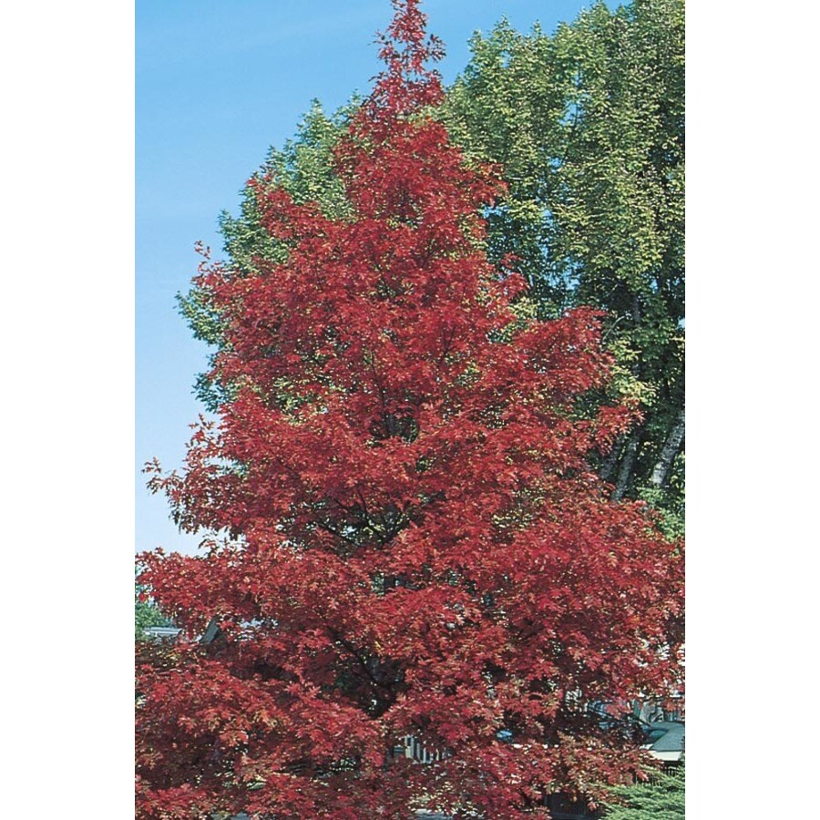 8.99-Gallon Red Oak Shade Tree (L7669)