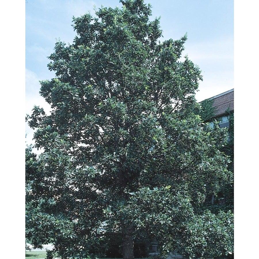 8.99-Gallon Swamp White Oak Shade Tree (L9931)