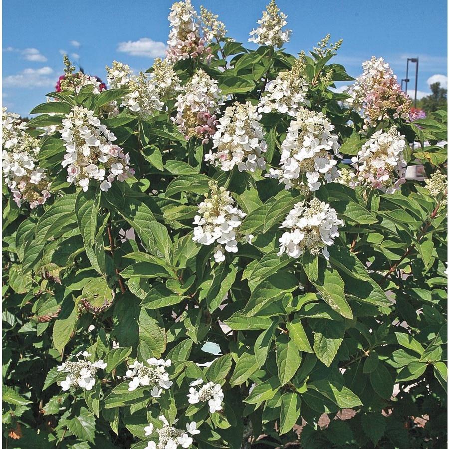 8.99-Gallon White Snow Mountain Hydrangea Flowering Shrub (L22033)