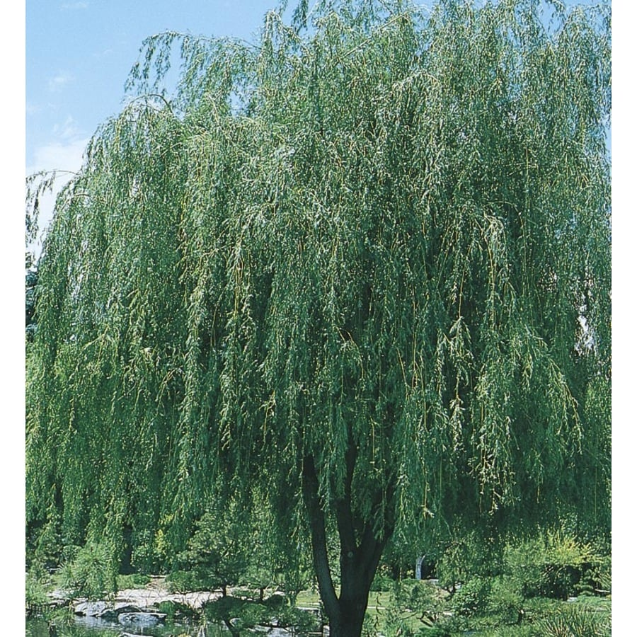 8-Gallon Prairie Cascade Willow Shade Tree (L4217)