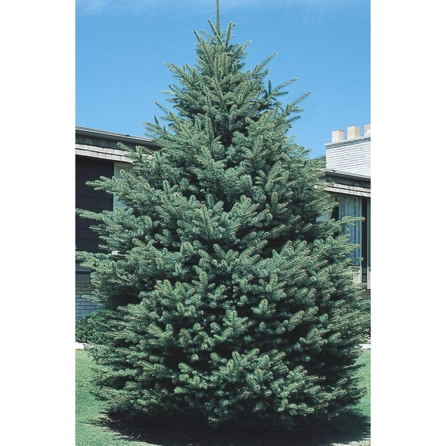 3-Gallon Black Hills Spruce Feature Tree (L4531)