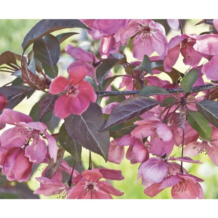 8.99-Gallon Perfect Purple Crabapple Feature Tree (L23070)