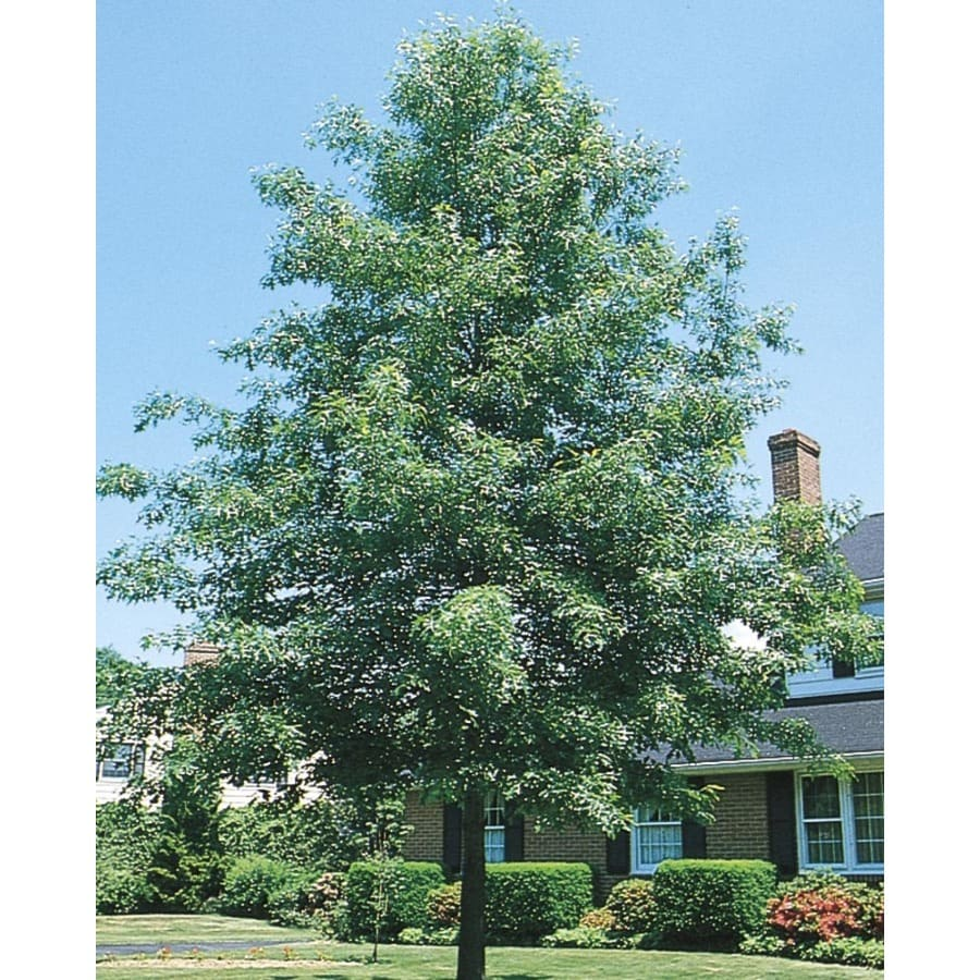 8.99-Gallon Pin Oak Shade Tree (L1097)