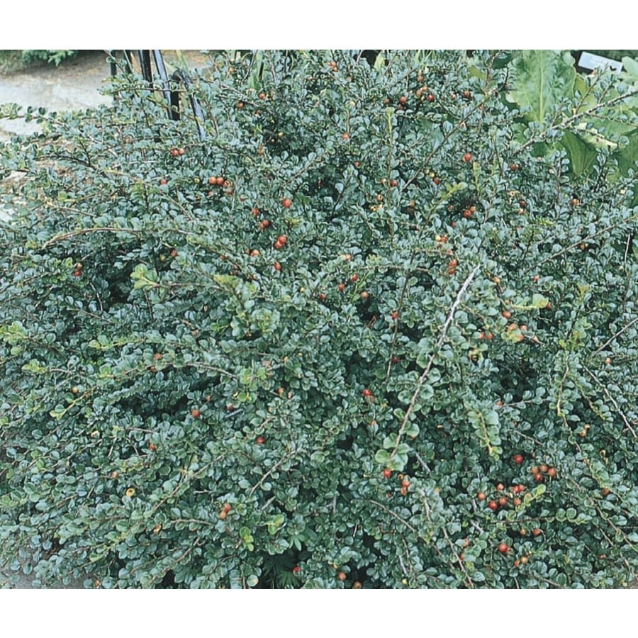 6-Gallon Pink Cranberry Cotoneaster Accent Shrub (L14183)