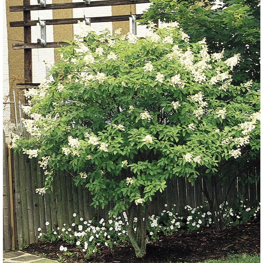 8.99-Gallon White Tardiva Hydrangea Tree Flowering Shrub (L11835)