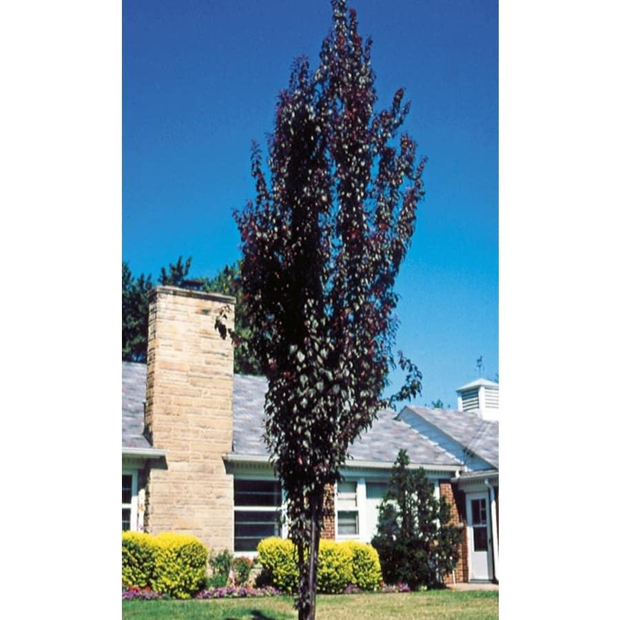 8.99-Gallon Crimson Pointe Flowering Plum Feature Tree (L24031)